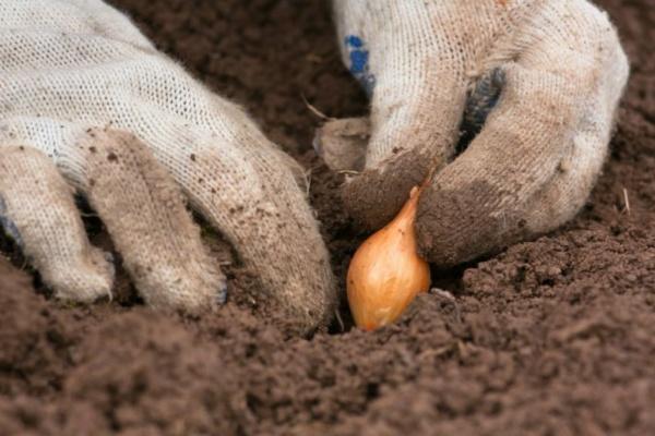 садим луковицу
