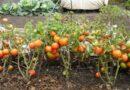 Подкормка помидоров в открытом грунте — когда и какие удобрения использовать для томатов